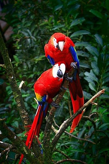 lapaz-1-1220353200-scarlet-macaws-la-paz-waterfall-gardens